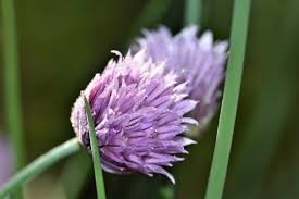 Chives blossom purple flower wallpaper