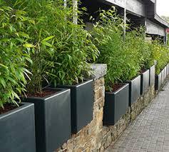 entretien des bambous en pot bambous en pots et bacs intérêts et espèces adaptées