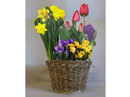 welcome early with flower bulbs a gourmet wisconsin cupboard