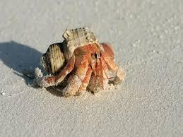 Halloween Hermit Crab Lifespan by 200 Best Hermit Crabs Images On Pinterest Hermit Crabs Bird
