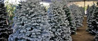 Christmas Trees Types by Bennett U0027s Best Christmas Trees And Pumpkins Holiday Lots In