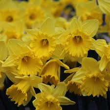 buy trumpet daffodil bulbs narcissus king alfred delivery by crocus