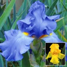 buy your iris plants direct from the growers