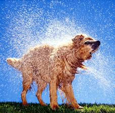 Dogs That Dont Shed And Smell by What U0027s Up With That The Gross Chemistry Behind That Funky Wet Dog