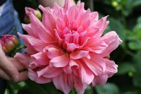 flower of the month dahlia by bethany