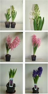 flowering bulbs green culture singapore
