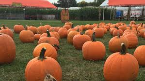 Pumpkin Farms In Georgia by Best Pumpkin Picking Patches In Ny Nj Connecticut Cbs New York