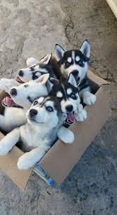 1344 best siberian husky images on pinterest siberian huskies
