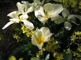bulb shopping 4 scheepers engelen tulipsinthewoods