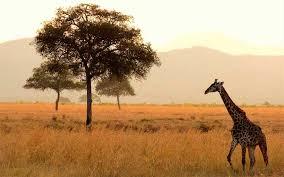 Giraffe Habitat And Distribution