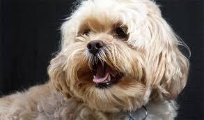 lhasa apso puppy shedding lhasapoo breed information