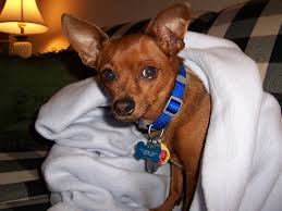 Do Miniature Pinschers Shed A Lot by Feedback Miniature Pincher Chihuahua Mix Thriftyfun