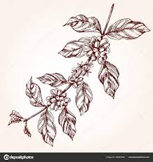 Coffee Tree Branch Freehand Drawing In Sketch Style Plant Concept With Leaf And Bean Vintage Vector Illustration By