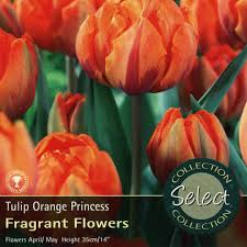 bulbs tulip orange princess bulbs for sale mail order