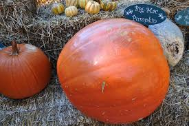 Grapevine Texas Pumpkin Patch by Pick Your Own Pumpkins In Dallas Fort Worth