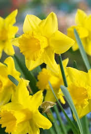 buy narcissus king alfred daffodil bulbs unwins seeds