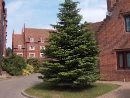 Nordmann Fir Christmas Tree Seedlings by 25 Nordmann Fir 4 Yrs Old Size 15 35cm 166 32 49 Farm And