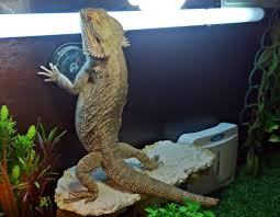 Reptile Heat Lamps Safety by Bearded Dragon Care Bearded Dragon Lighting And Heating
