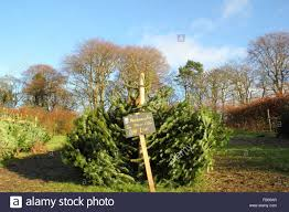 Nordmann Fir Christmas Trees Wholesale by Nordmann Fir Christmas Trees Fr Sale At Longshaw Estate In The