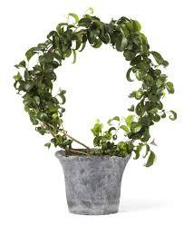 birkenfeige ficus benjamina zimmerpflanzen porträt das haus