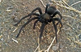 Los Angeles Hikers Warned About Tarantulas Around Trails | Fox News Does Anyone Else Like Cars Tarantula Forum The Setup That All The Tech Obssed Nerds Are Using Shark Wheels High Quality Rc Quadcopter Upper Body Cover Shell Accessory Yizhan Pin By Chris On Trucks Pinterest Rigs Peterbilt Indiana Man Warns Locals To Beware Of Giant Spiders After Spotting Dead Thejournalie Victor Ehart Youtube Kids Tour Mexican Stock Photos Images Alamy Wall Vinyl Decal Sticker Animals Insect Spider Art Deepfried Tarantula Allegations Deliciousness