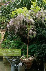 planting wisteria in a pot gap gardens wisteria sinensis grown as standard in pot with