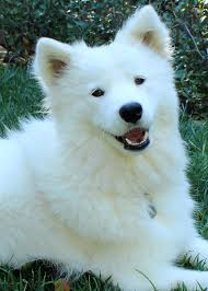 Do Samoyed Dogs Shed Hair by Success Stories Page 2 U2014 Y Not Save A Sam Rescue