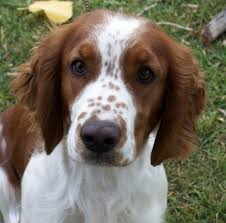 Springer Spaniel Shed Hunting by Pets Springer Spaniel Pictures Dog Breeds Puppies Special