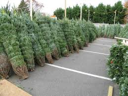 Christmas Trees Prepped For Sale In North Arlington