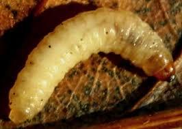 asticot blanc dans la cuisine insectes17bis