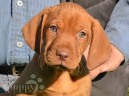 When Do Vizslas Shed Their Puppy Coat by Hungarian Vizsla Puppies For Sale Euro Puppy