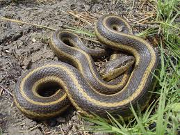 The Giant Garter Snake A Species Endemic To Californias Central Valley Will Be Focus Of Eric Hansens Flyway Nights Lecture At 7 Pm Thursday