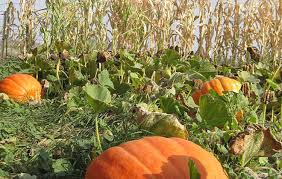 Hayden Idaho Pumpkin Patch by October Is Here And With It Haunted Houses And Corn Mazes Galore
