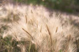 Deadly When Dry: 10 Things To Know About Foxtail Plant Awns – Dev ... Lola The Grass Awn Youtube Canada Wild Rye The Project Bobs Blog Animal Hospital Of Rowlett Awns Making An Summer Danger Lurking In Yo Venice Dangers Foxtails To Dogs Cats Specialty Group Free Images Branch Field Sunlight Crop Ear Agriculture Porcupine Hesperostipa Spartea Ramblings A Seed Picker Field Biology Southeastern Ohio Grasses Part 2 Explore Barley Todays Homepage Filespear Heteropogon Contortus Tertwined Awns A Key Common Hawaii Page 6 Diase World Wheat
