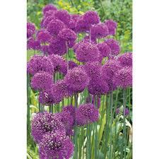 shop garden state bulb 15 pack purple sensation allium bulbs