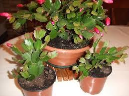 entretien plante grasse d interieur nos jolies plantes page 2 au jardin forum de jardinage