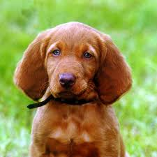 When Do Vizslas Shed Their Puppy Coat by Vizsla Long Haired Vizsla And Long Haired Vizsla Puppy Cute