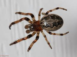 Furrow Spider – Larinioides Cornutus – North American Insects ... Spiders At Spiderzrule The Best Site In World About Spiders Barn Funnel Weaver Spider North American Insects Bug Eric Thinlegged Wolf Genus Pardosa Grass How To Tell If A Spider Is Not Brown Recluse Spiderbytes