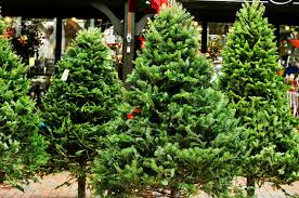 Types Of Christmas Trees To Plant by Types Of Christmas Trees Explained Douglas Fir Balsam Fir