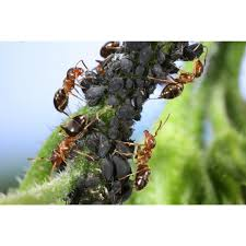 Christmas Tree Aphids Uk by Nemasys No Ants Wiggly Wigglers