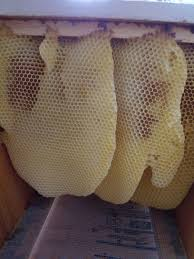 How To Avoid Cross-Comb In Top-Bars And Langstroth Hives | Overall ... Theyre Finished The First 2 Bcb Top Bar Hives Are Complete And Bar Hives For Sale Made In Maine Gold Star Honeybees Cool Beehive Plans Pdf Dadi Wood 80 Best Backyard Bees Images On Pinterest Build Beehive Building A Hive Finished Bkeeping Methods Topbar Diy Standard Bars For Bkeeper Bee Culture Cstruction Virtually Oxfordshire Natural Top Bar Hive How To Avoid Crosscomb Topbars Langstroth Overall Top Archives Foul Mouthed Bkeepers