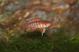 absolutely fish blogs scarlet badis a unique nano fish