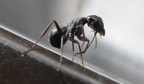 Flying Ants In Bathroom Sink by The March Of The Carpenter Ants Endless Forms Most Beautiful