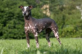 Do Italian Greyhounds Shed A Lot by 16 Dog Breeds That Don U0027t Shed Mnn Mother Nature Network