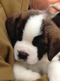 bernard puppies how to grade a litter advice for any