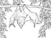 Related Coloring Pages Rodrigues Fruit Bat From Bats