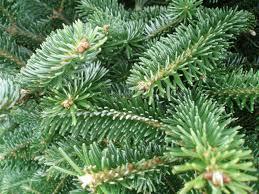 Fraser Fir Christmas Trees Delivered by 17 Fraser Fir Christmas Trees Uk Norway Spruce Real