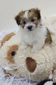 Non Shedding Dog Breeds With Pictures by 8 Best Puppies Images On Pinterest Teddy Bears Puppies And