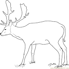 Fallow Buck Deer Coloring Page