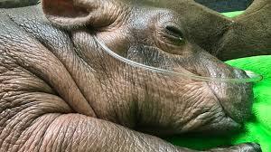 Cincinnati Zoo Halloween by Baby Hippo At Cincinnati Zoo Saved By Children U0027s Hospital Team